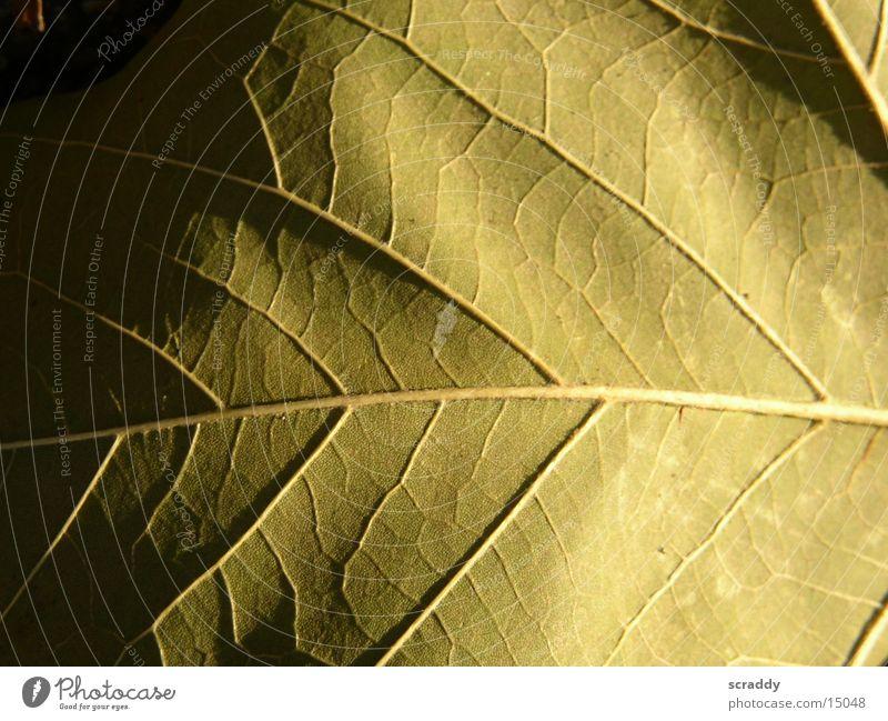 Blatt Blatt dunkel hell braun Verlauf Gefäße halbdunkel