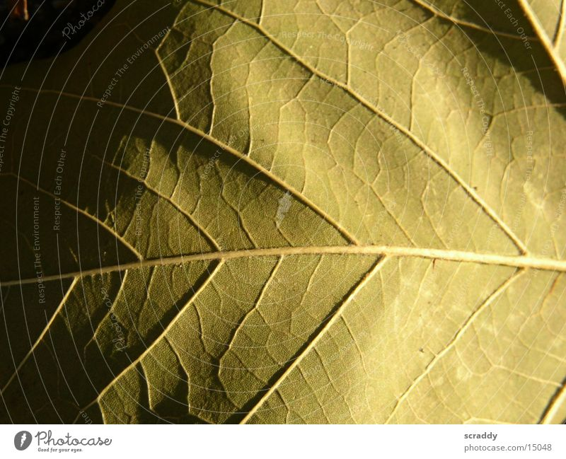Blatt braun Gefäße halbdunkel Verlauf Strukturen & Formen hell Schatten