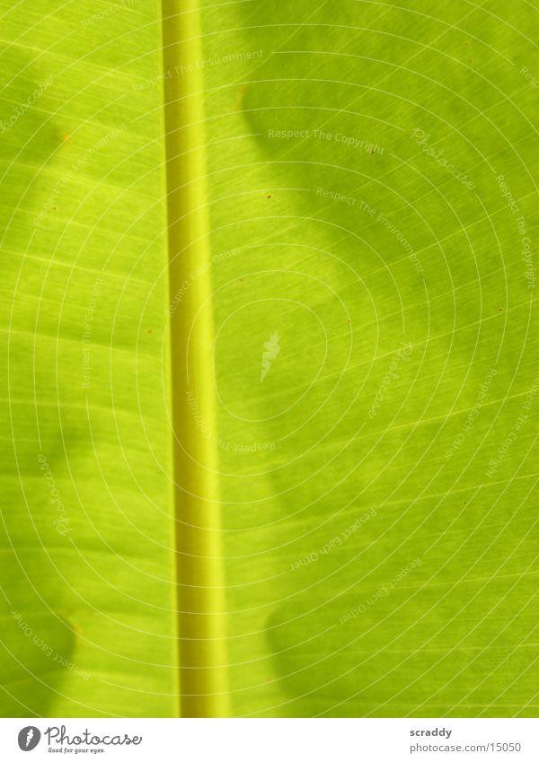 Bananenblatt Blatt grün Beleuchtung Palmenwedel Sonne