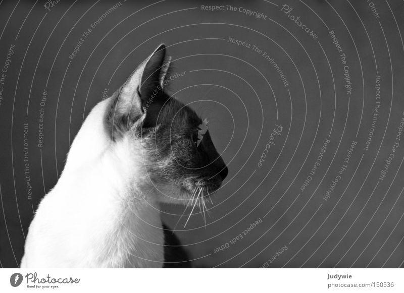 Anmutig Katze edel Hauskatze verkatert Schwarzweißfoto Schnurrhaar ernst Tier weich süß Fell Trauer Einsamkeit Erwartung Treue Säugetier schön Siamkatze