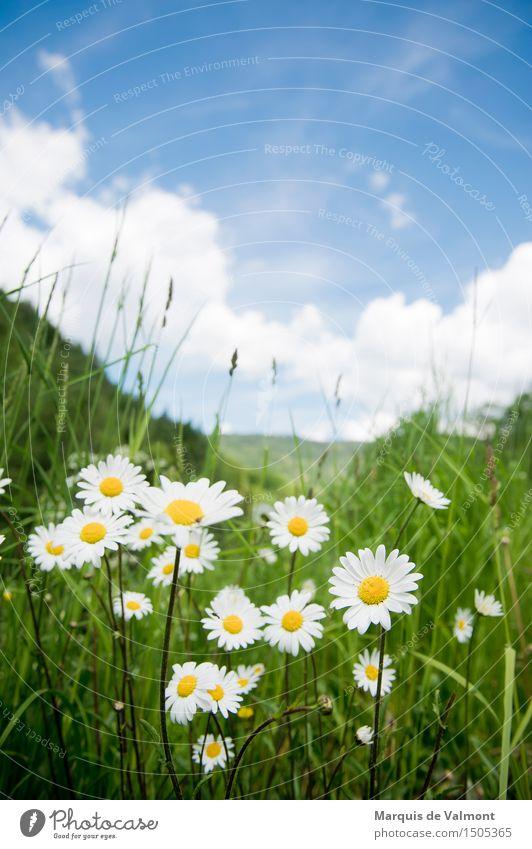 Idyll Landschaft Pflanze Himmel Wolken Frühling Schönes Wetter Blume Gras Margerite Wiese Alpen Berge u. Gebirge Duft Freundlichkeit Fröhlichkeit frisch hell