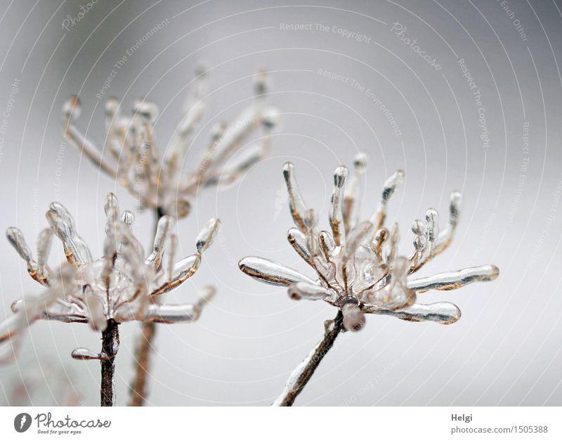 bizarre Winterblüten... Umwelt Natur Pflanze Eis Frost Blüte Wildpflanze Wiese stehen verblüht dehydrieren alt ästhetisch authentisch außergewöhnlich