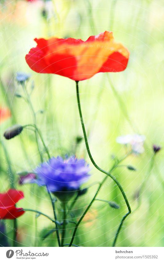 mo(h)ntag yeah! Natur Pflanze Frühling Sommer Schönes Wetter Blume Gras Blatt Blüte Mohn Garten Park Wiese Blühend Duft verblüht Wachstum schön grün rot Stengel