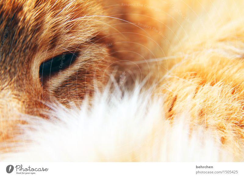 letztes foto... Katze schön Erholung Tier Auge orange träumen weich schlafen berühren zart Fell Haustier Tiergesicht Geborgenheit kuschlig