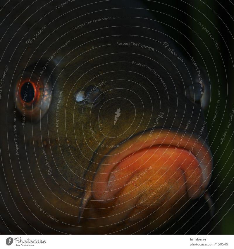 :-( Traurigkeit Mund Fisch Trauer Wut Verzweiflung Aquarium Desaster Ärger Schnauze Frustration Fischereiwirtschaft Karpfen Schmollmund Fischkopf