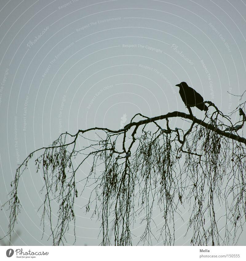 allein Umwelt Natur Baum Ast Tier Vogel Krähe 1 natürlich blau schwarz Geäst Silhouette Farbfoto Außenaufnahme Menschenleer Textfreiraum oben Dämmerung