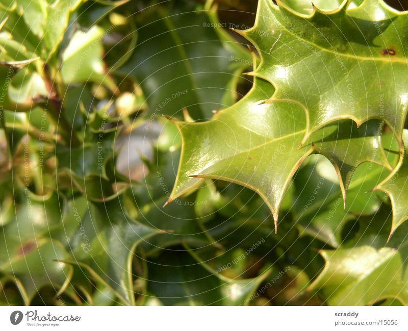 Ilex grün Pflanze Blatt Umweltschutz Ilex