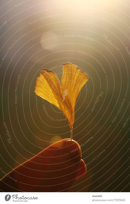 Ginko Glücksbringer Natur Pflanze Frühling Herbst Blatt Blüte Stimmung Ginkgo Finger vertrocknet Farbfoto Außenaufnahme Nahaufnahme Detailaufnahme Makroaufnahme