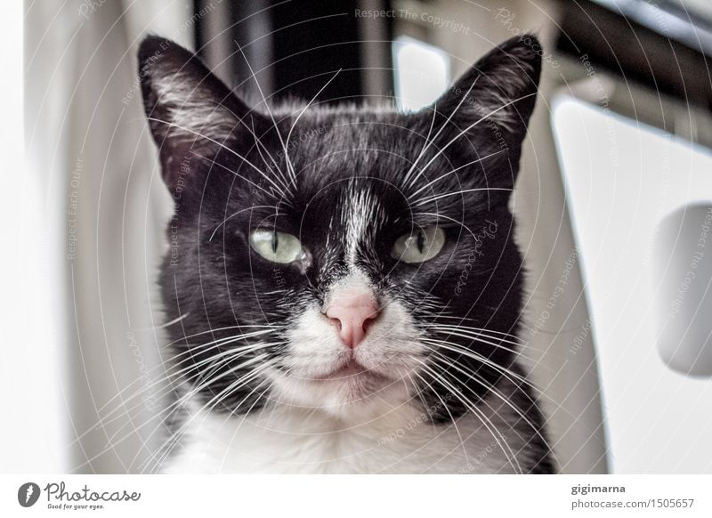 Kitty Katze weiß Tier schwarz elegant Haustier Tierliebe