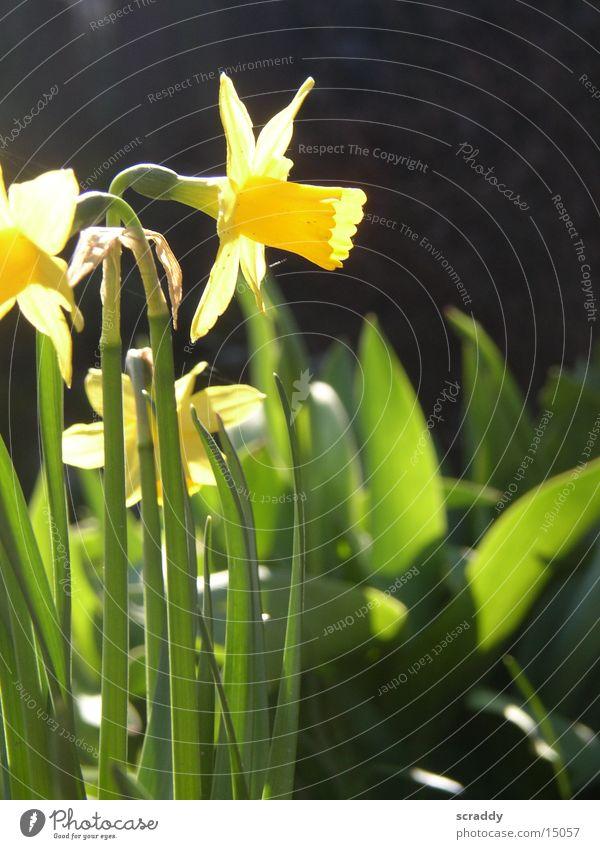 Osterglocken / Narzissen Gelbe Narzisse gelb grün schwarz Pflanze Makroaufnahme