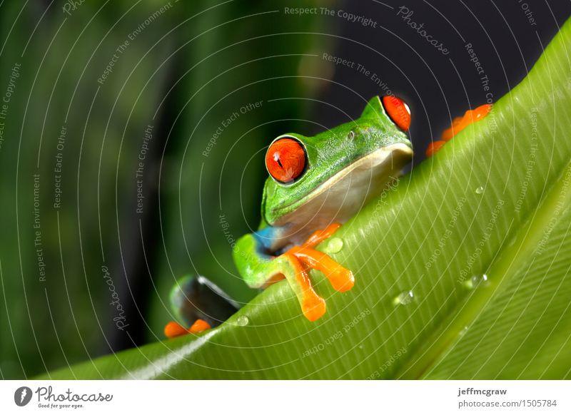 Rotäugiger Baum-Frosch auf Laub Umwelt Natur Pflanze Tier Blatt exotisch Haustier Wildtier 1 hängen Farbfoto mehrfarbig Menschenleer Textfreiraum links Tag