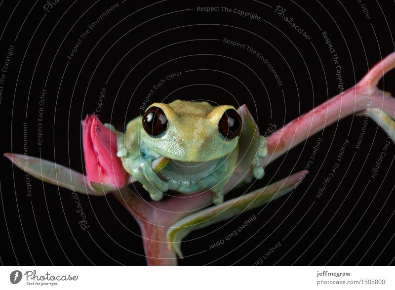 Maroon Eyed Tree Frog Umwelt Natur Pflanze Tier Blüte Grünpflanze Wald Haustier Frosch Tiergesicht 1 hängen nah mehrfarbig grün Farbfoto Nahaufnahme