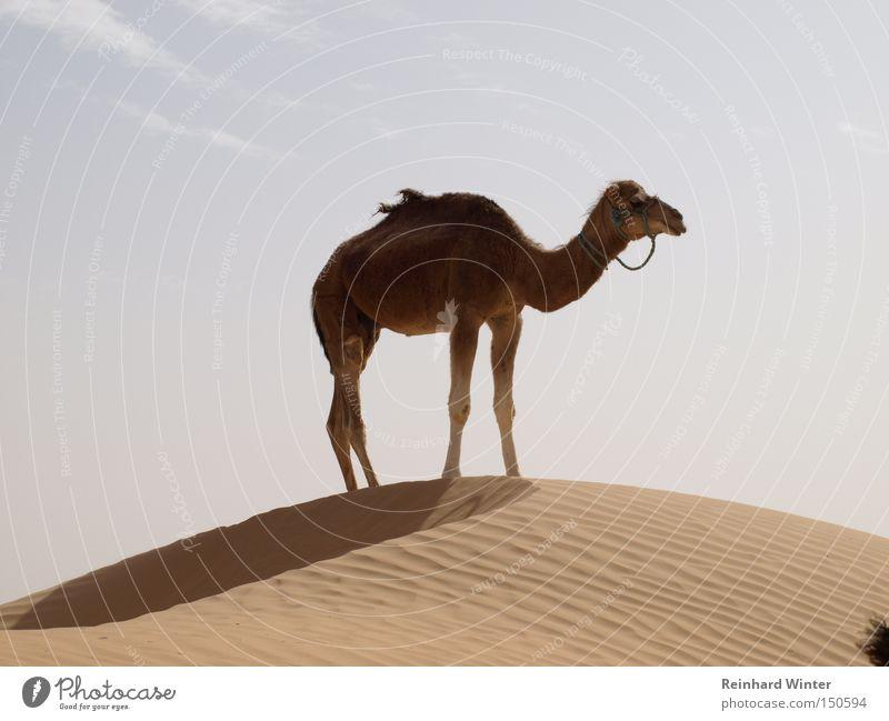 Camel up Sand Wüste Düne Säugetier Kamel Sahara Dromedar