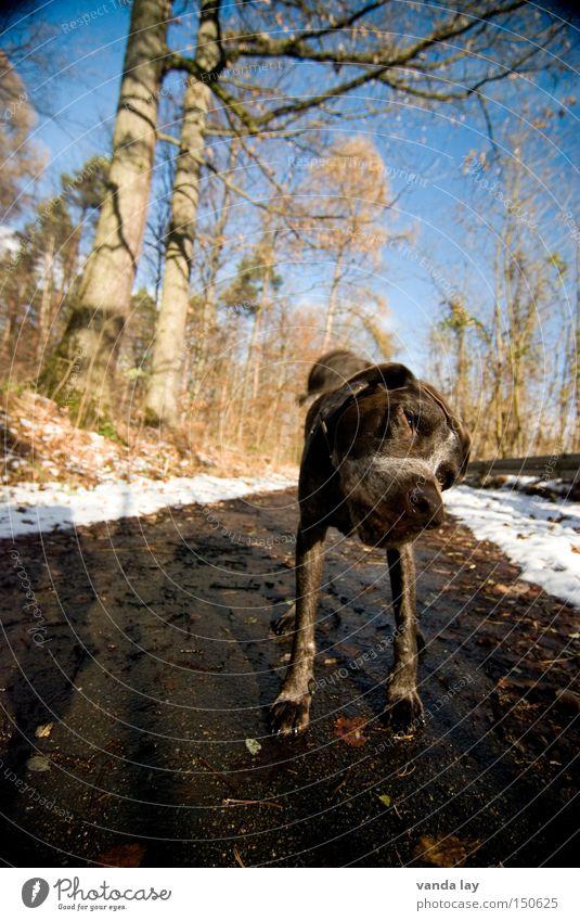 geschüttelt Winter Tier Wald kalt Schnee Hund Wege & Pfade drehen Säugetier Jäger schütteln Juckreiz Rassehund Reinrassig