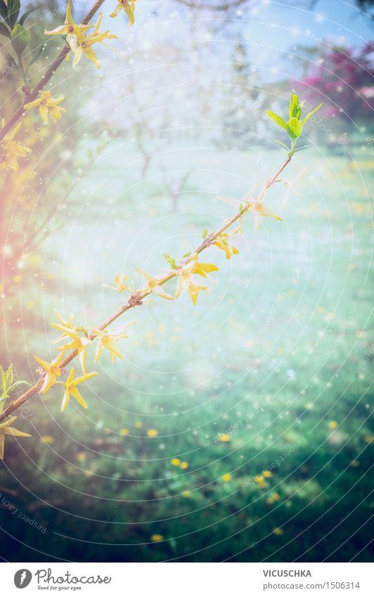 Blühende Forsythia im Frühling Garten Lifestyle Stil Natur Pflanze Sonnenlicht Schönes Wetter Sträucher Blatt Blüte Park weich gelb Frühlingsgefühle Design