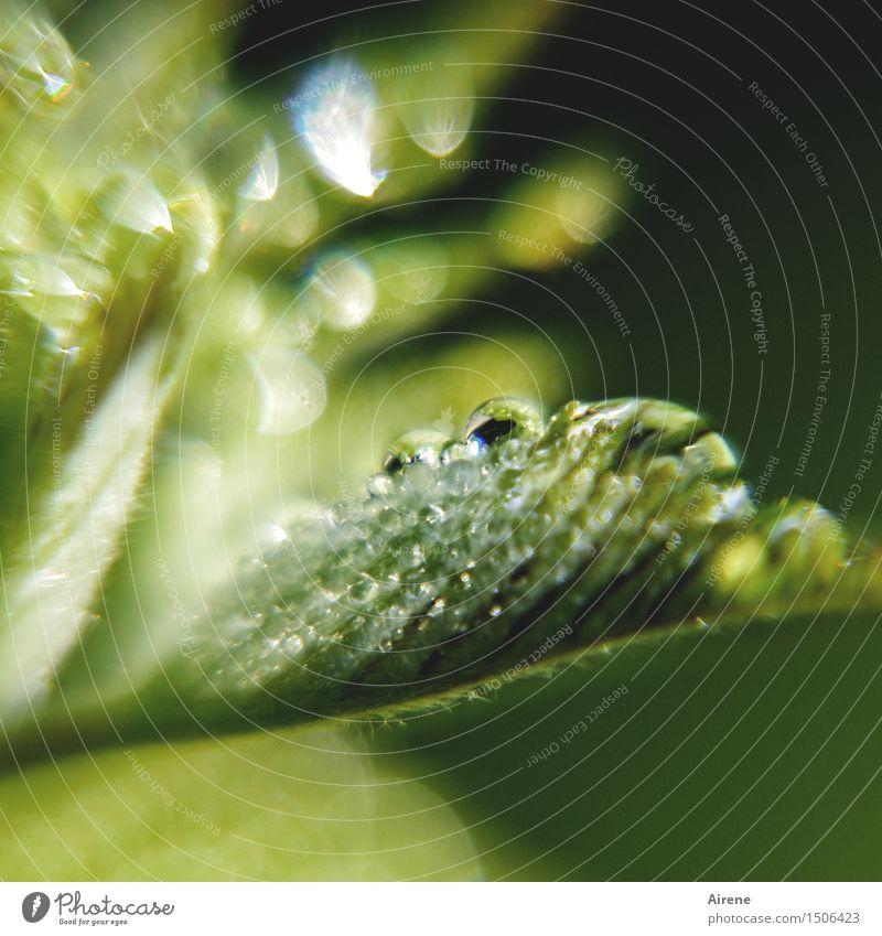 Reinheit Natur Pflanze Wassertropfen Frühling Schönes Wetter Regen Blatt Blattknospe glänzend leuchten Wachstum frisch nass grün Frühlingsgefühle Beginn