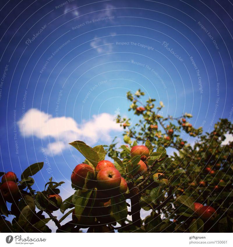 i just happen to like apples Himmel Baum Sommer Blatt Ernährung Herbst Frucht Froschperspektive Apfel Quadrat Landwirtschaft Obstbaum Ernte Vitamin Apfelbaum