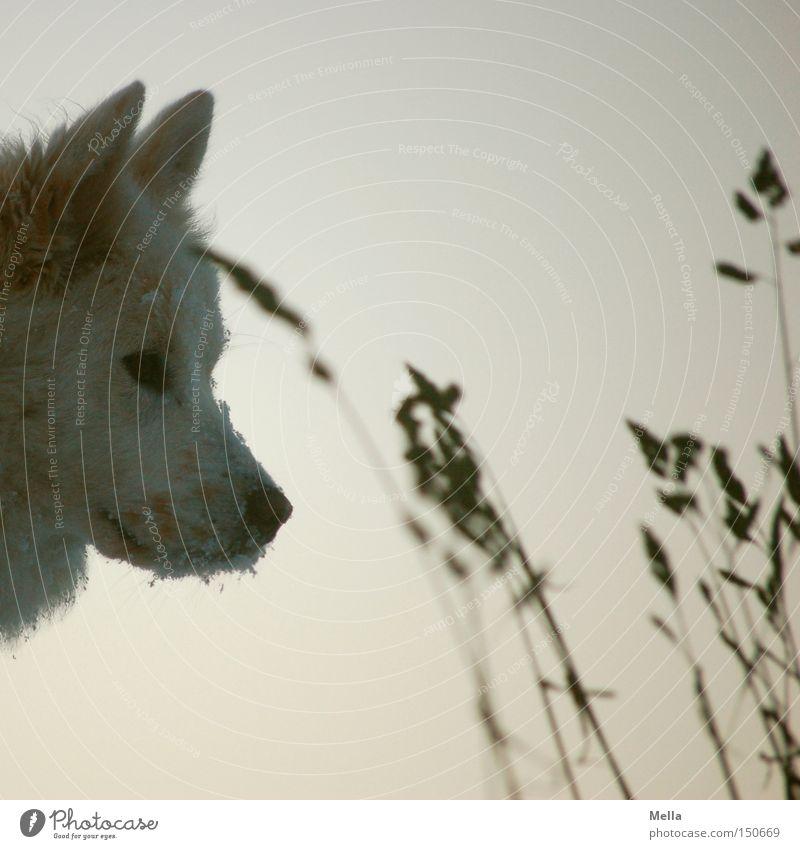 Kalte Nase garantiert Tier kalt Hund Gras Kopf Ohr Tiergesicht Säugetier Haustier Schnauze Schnee Schneekristall