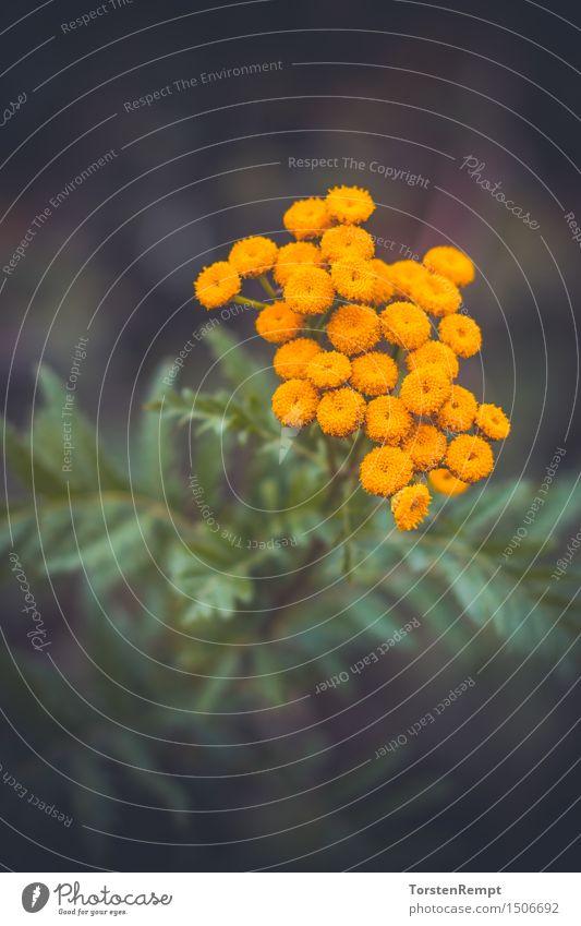 Rainfarn Umwelt Natur Sommer Pflanze Blüte Grünpflanze Wildpflanze Feld gelb gold grün Tanacetum vulgare Asternartige Korbblütler Asterales Korbblütengewächs