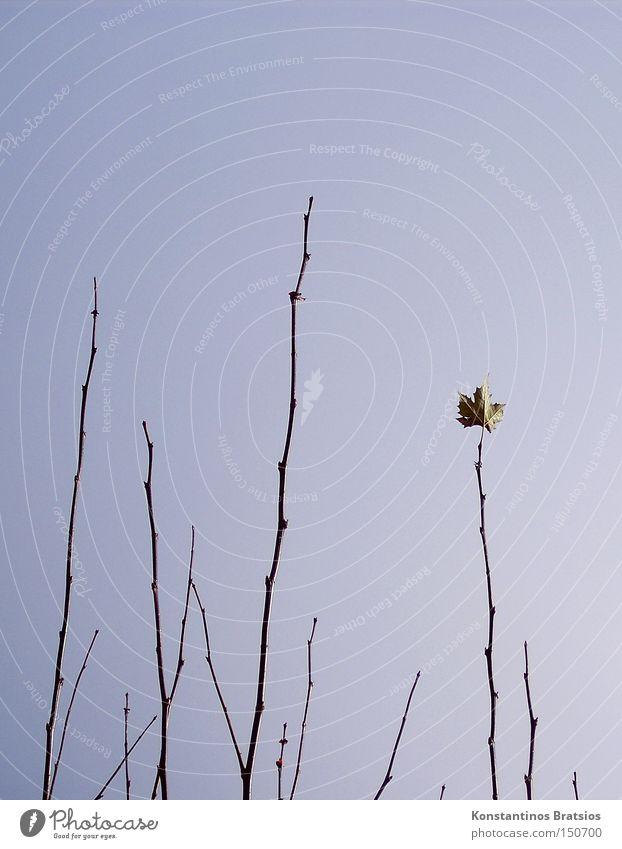Single Natur Baum Blatt Herbst Wind Wetter Wachstum Ende Ast Spitze natürlich Baumkrone Rest Wolkenloser Himmel