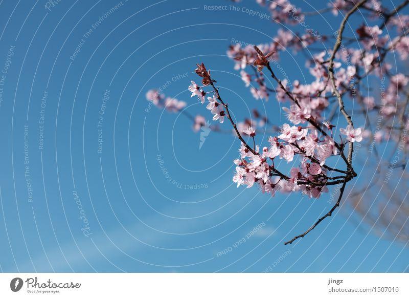 Frühlingserwachen blau Farbe Baum Wärme Blüte Gefühle Glück hell rosa Wachstum frisch leuchten elegant Blühend Warmherzigkeit