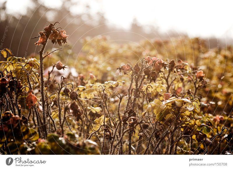 Rohland Herbst Monochrom Pflanze Gegenlicht Trauer Vergangenheit Hagebutten Sehnsucht Vergänglichkeit Ocker Natur Tod Hoffnungslosigkeit Ende Verzweiflung