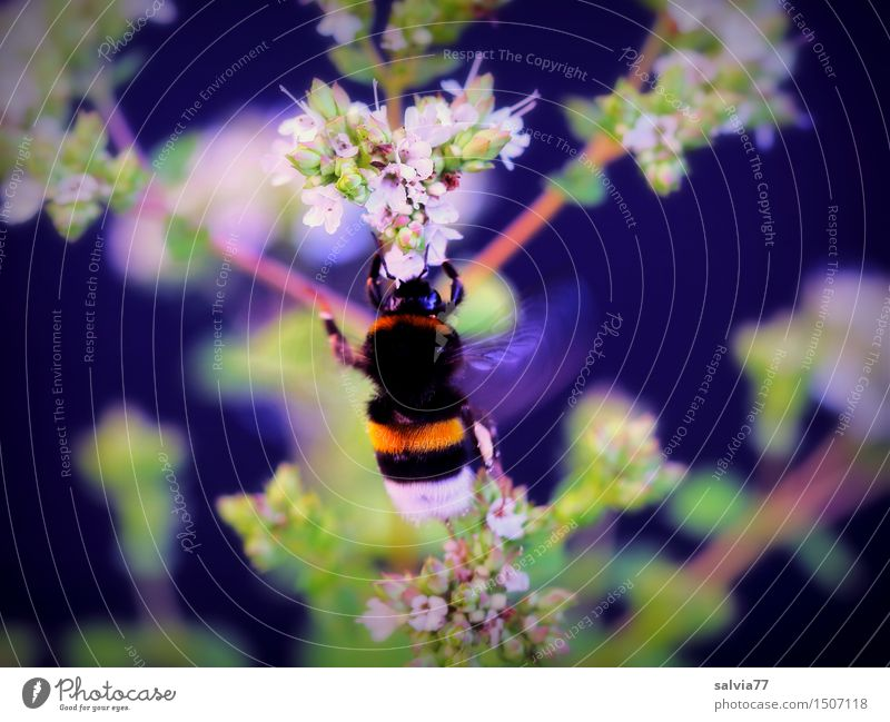 Brummer Natur Pflanze Sommer Blatt Tier Blüte Garten fliegen Wildtier Blühend weich Kräuter & Gewürze entdecken Insekt Duft wählen