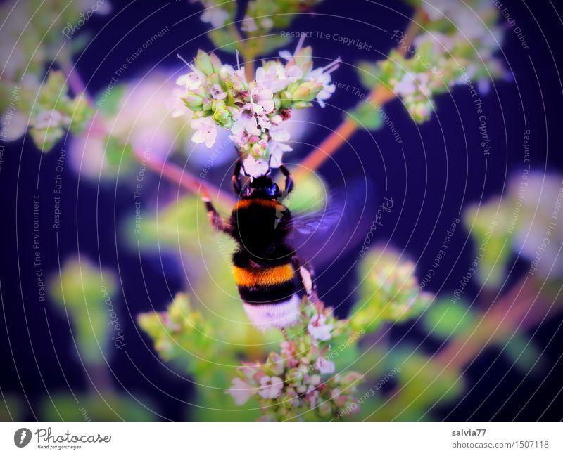 Brummer Natur Tier Sommer Pflanze Blatt Blüte Oregano Garten Wildtier Hummel Hummelflug Insekt 1 wählen Duft entdecken fliegen weich Kräuter & Gewürze Blühend
