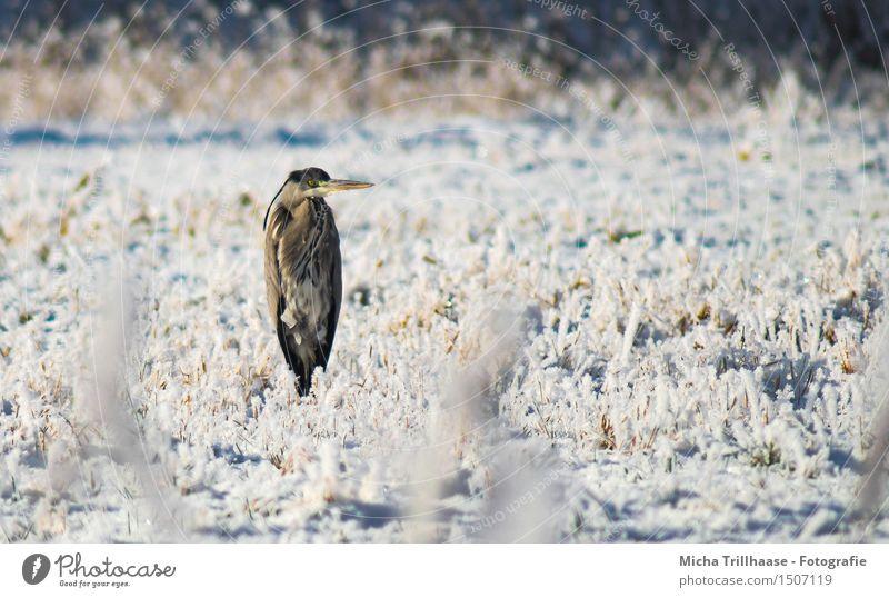 Nix los hier Winter Schnee Umwelt Natur Tier Sonnenlicht Schönes Wetter Eis Frost Gras Wiese Wildtier Vogel Tiergesicht Flügel 1 beobachten fliegen frieren