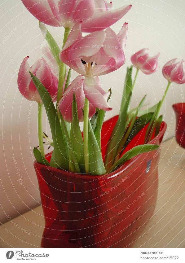tulpe Wasser Blume rot Tulpe