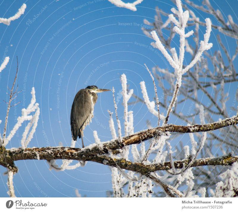 Reiher im Baum Winter Schnee Umwelt Natur Tier Himmel Sonnenlicht Wetter Schönes Wetter Eis Frost Wildtier Vogel Tiergesicht Flügel 1 beobachten Erholung