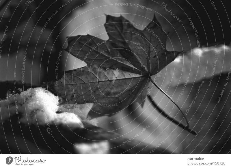 Dezemberblatt Baum Winter Blatt kalt Schnee Herbst träumen Frost Ast analog graphisch