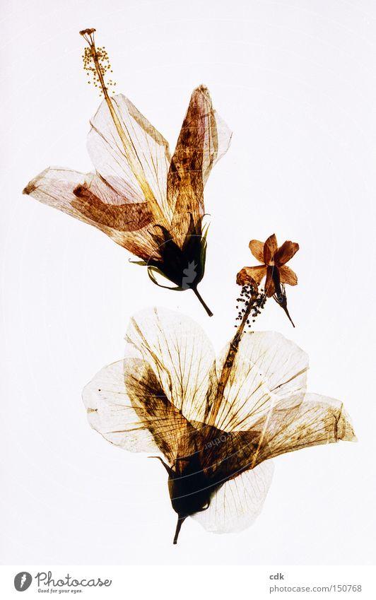 Erinnerungen an den Sommer schön Blume Leben Blüte 2 Vergänglichkeit zart Blühend zerbrechlich poetisch Hibiscus gepresst
