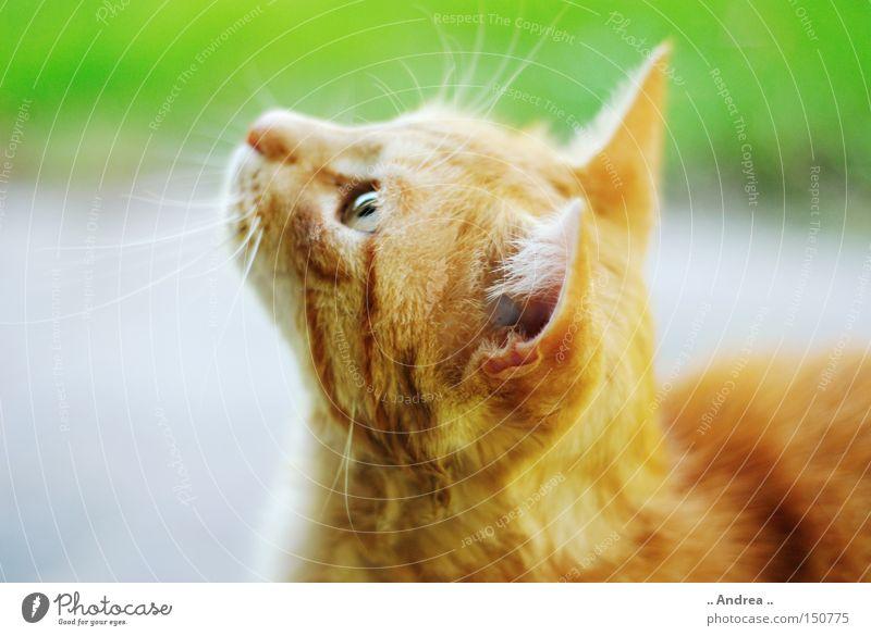 Red Tiger 14 Fell Katze Freundlichkeit grün rot Schnurrhaar Säugetier Hauskatze mietzi cat schurrhaare getigert rot traurig Silhouette Profil