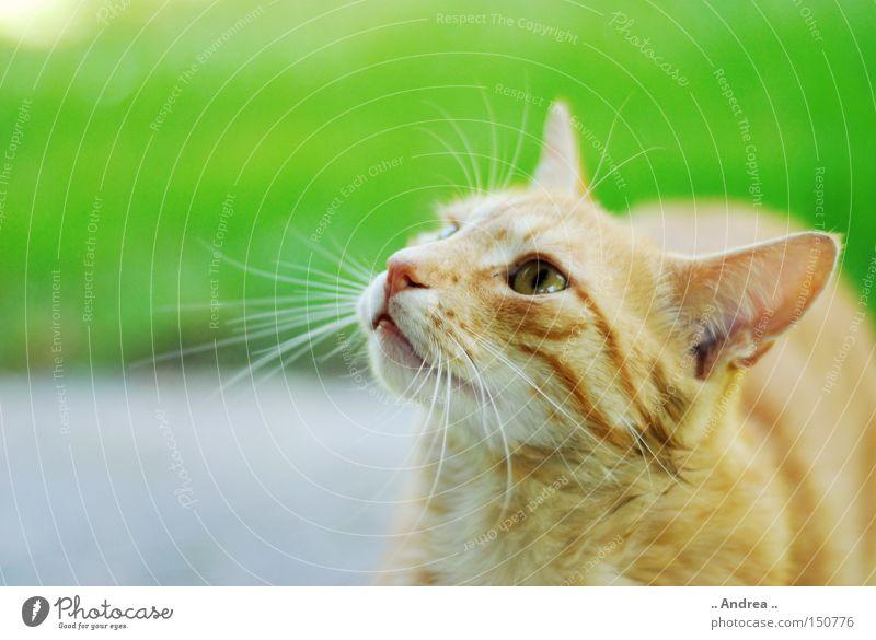 Red Tiger 15 Katze grün rot Freundlichkeit Fell Säugetier Hauskatze Schnurrhaar