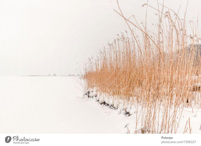 Rushes im Winter Schnee Natur Landschaft Pflanze Wind Nebel Gras Park Teich See Fluss frieren Coolness natürlich wild braun weiß Schilfrohr Frost kalt