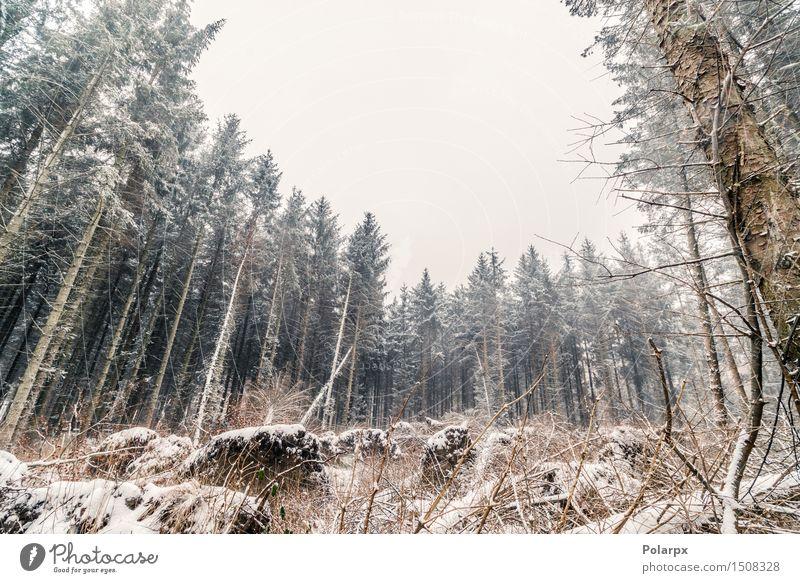 Kiefern im Winter Himmel Natur Weihnachten & Advent schön weiß Baum Landschaft Wald Umwelt Schnee Gras grau Wetter Nebel Coolness