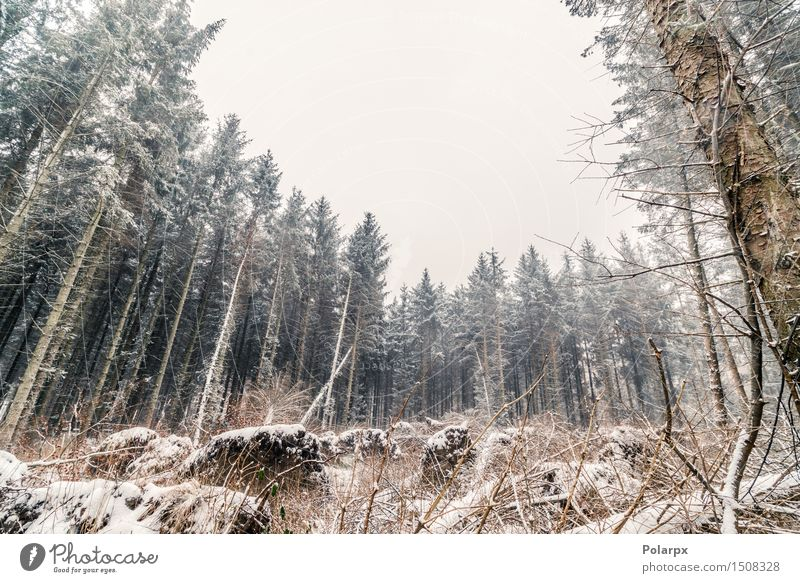 Kiefern im Winter schön Schnee Umwelt Natur Landschaft Himmel Wetter Nebel Baum Gras Wald Coolness grau weiß Skandinavien Dänemark Weihnachten kalt Jahreszeiten