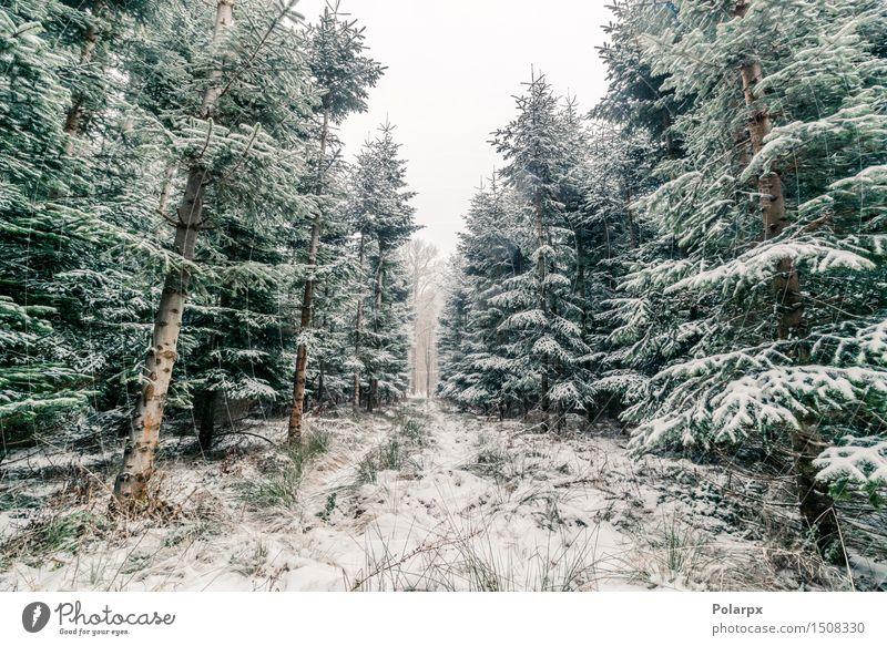 Kiefern im Winter Himmel Natur Ferien & Urlaub & Reisen Weihnachten & Advent Pflanze grün schön weiß Baum Landschaft Wald Berge u. Gebirge Umwelt Schnee