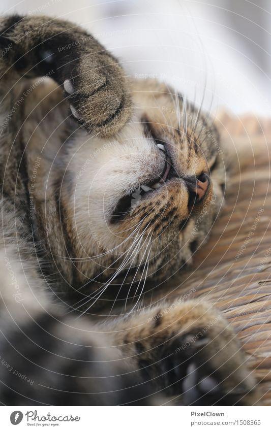schlafende Katze Tier 1 niedlich schön braun ästhetisch ruhig träumen Farbfoto Innenaufnahme