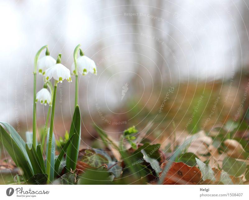 im Frühlingswald Umwelt Natur Landschaft Pflanze Schönes Wetter Blume Blatt Blüte Wildpflanze Märzenbecher Wald Blühend Wachstum ästhetisch schön natürlich
