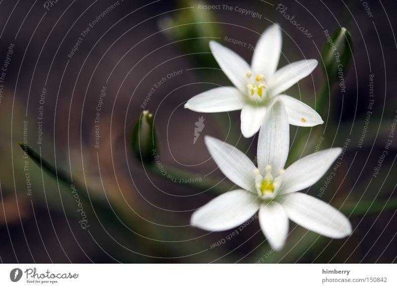 twins Blume Milchstern Floristik Pflanze Blumenladen Blumenhändler Blüte Blütenblatt Blütenknospen Park Makroaufnahme Nahaufnahme osterkarte