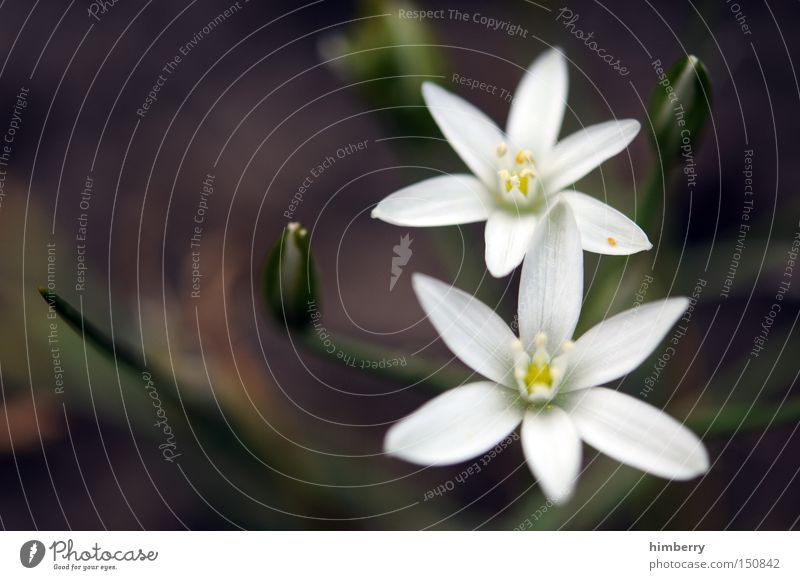 twins Pflanze Blume Blüte Park Blütenknospen Blütenblatt Floristik Blumenhändler Hyazinthe Blumenladen Milchstern