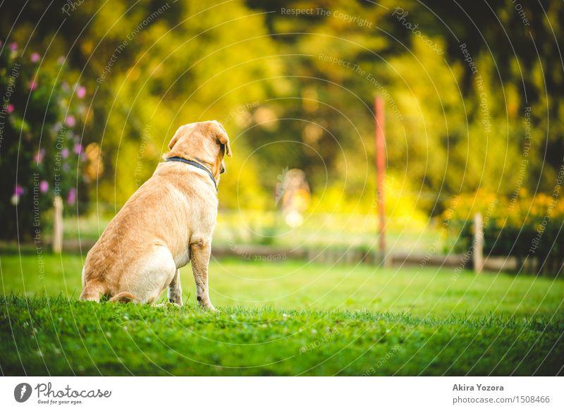 Sehnsucht Schönes Wetter Garten Wiese Tier Haustier Hund 1 beobachten entdecken Blick sitzen warten natürlich gelb grün violett orange rot schwarz Gefühle