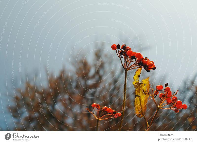 Reife Früchtchen. Natur Pflanze Himmel Blatt Beeren natürlich braun gelb rot Vergänglichkeit Herbst Stengel Farbfoto Menschenleer Textfreiraum oben Tag