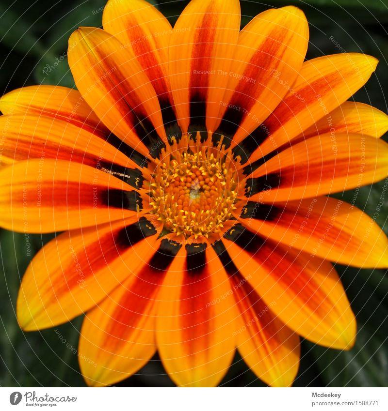 Für dich solls bunte Blumen regnen,... Umwelt Natur Pflanze Sonne Sommer Schönes Wetter Wärme Blatt Blüte Topfpflanze exotisch Garten Blühend genießen leuchten