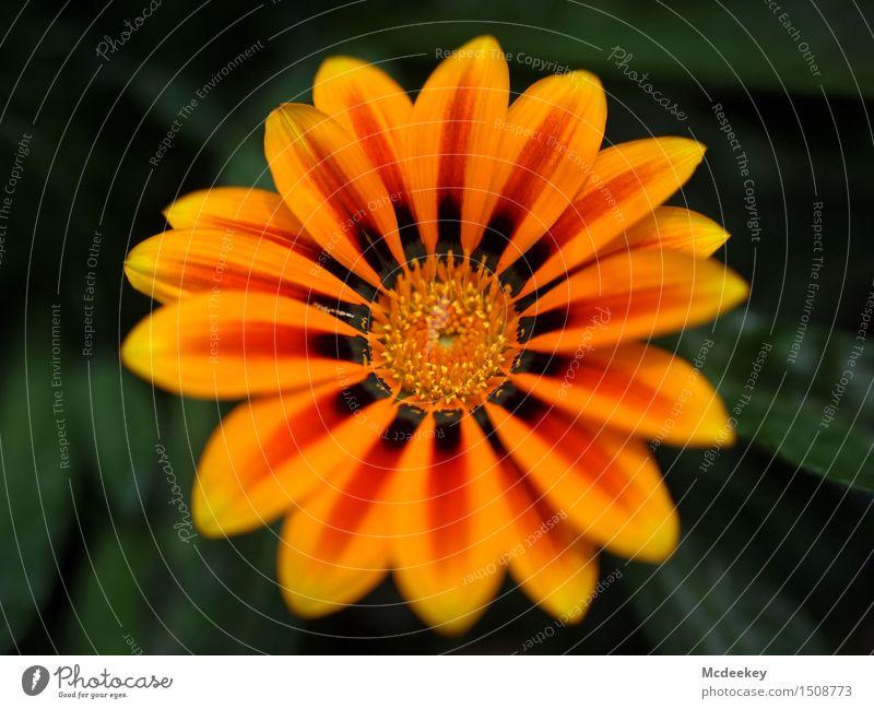 Sonnenkinder Umwelt Natur Pflanze Sommer Schönes Wetter Blume Blatt Blüte Topfpflanze exotisch Garten Blühend Duft leuchten schön natürlich rund verrückt braun