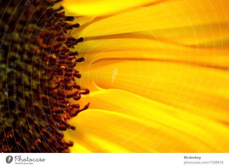 Sonnenkraft Umwelt Natur Pflanze Sonnenlicht Sommer Schönes Wetter Wärme Blume Blatt Blüte Nutzpflanze Sonnenblume Wiese Feld Blühend leuchten Duft authentisch