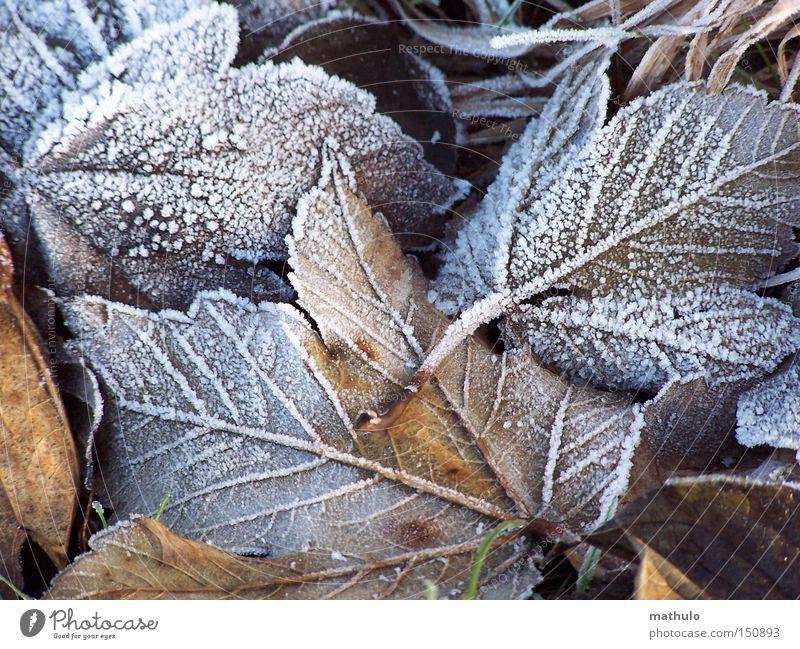 Gänsehaut Winter Frost Blatt kalt braun Eis welk weiß Herbst Trauer Einsamkeit Außenaufnahme Detailaufnahme Schnee