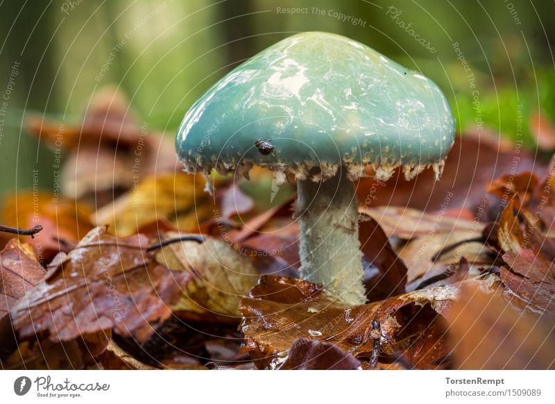 Blauer Träuschling blau grün Sommer Blatt Wald Umwelt Herbst braun orange Pilz Laubwald